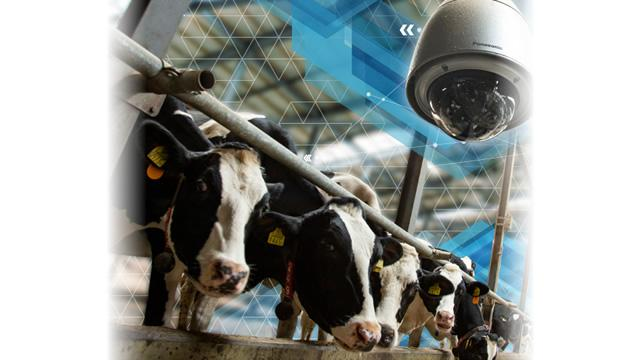 Dairy Cattle Births Are Protected by Cameras - Revolutionizing Dairy Farming