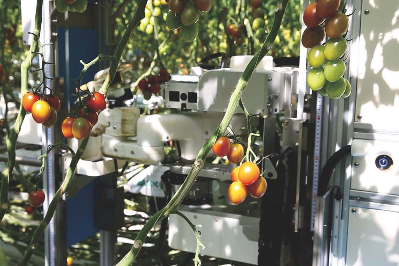 photo: Panasonic's tomato harvesting robot working at an advanced farm