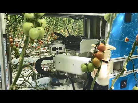 AI-equipped Tomato Harvesting Robots to Farms May Help to Create Jobs