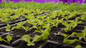 パナソニックの屋内野菜工場で育つ野菜