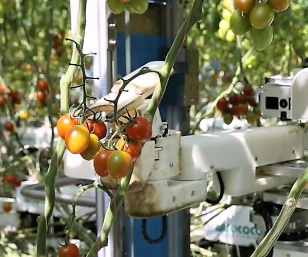 トマト収穫ソリューション~AIで農業の人手不足解消へ~トマトを自動で収穫するロボットが活躍